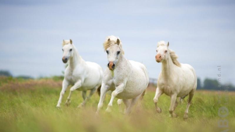 2136-paarden
